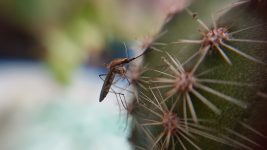 1920px-Mosquito_y_cactus wiki