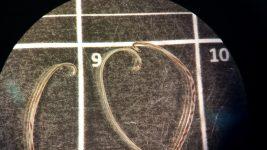 Foto 11c_A. vasorum microscopy-BI R&D-2