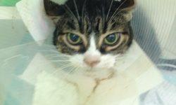 Foto 3 gato hiertiroideo agresivo
